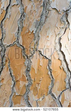 Detail Of Bark Of Mediterranean Pine