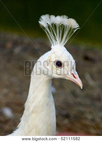 Head Of White Peacock.