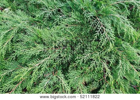 Cypress (thuya, Arborvitae) Background