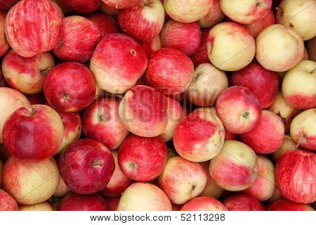 Apple harvest season