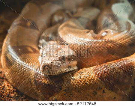 Snake, Moustached Boa