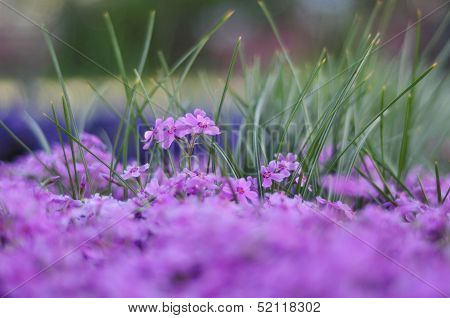 Flowerbed Of Beautiful Purple Flowers On Blurred Background