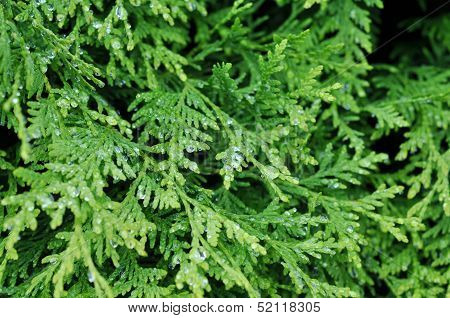 Green Background, Arborvitae In Drops After Rain