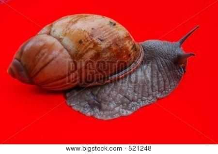 Ibi - Snail