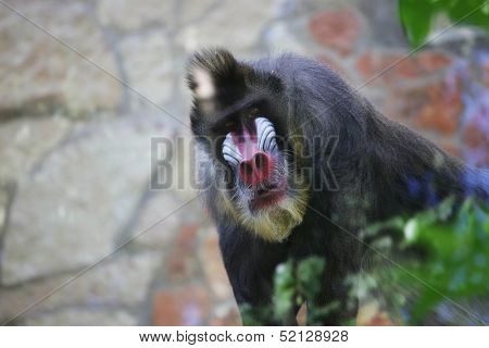 Mandrill. Monkey in zoo.