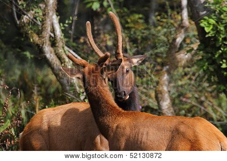 Young Bull Roosevelt Elk