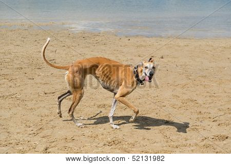 Spanish Galgo in bad condition with necklace walking near water
