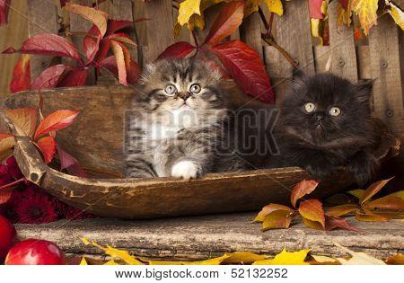 lop-eared kittens skotishfold