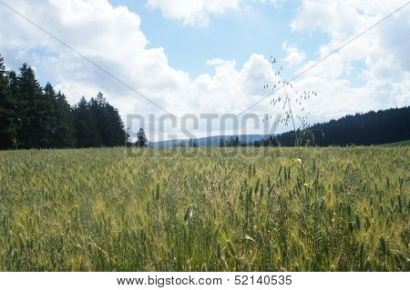 View over a grain field