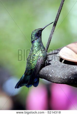 Sparkeling Violet Eared Hummingbird