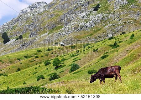 Cow on a green pasture