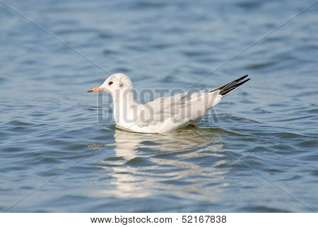 Seagull Swimming In Open Water.