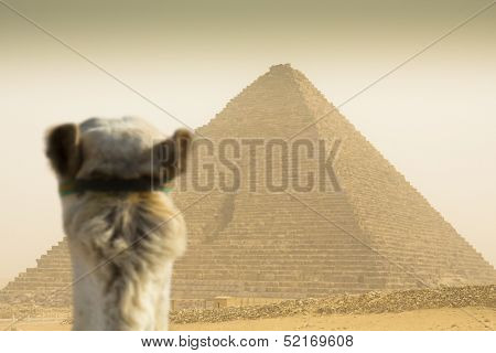 Camel Watching The Cheops Pyramid  In Sandstorm