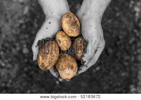 Hands presenting freshly dug potatoes in selective black and white