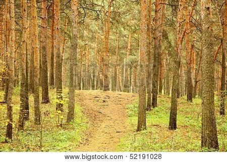 Walkway In Morning Autumn Pinewood