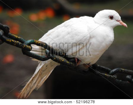 White Indian Pigeon Resting on Chain