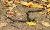 picture of serpent  - the serpent on the ground in the autumn leaves - JPG
