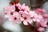 foto of cherry-blossom  - This is a close up of a cherry blossom branch - JPG