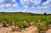 view of a vineyard with ripe grapes in Tarragona, Catalonia, Spain