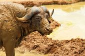stock photo of cape buffalo  - A very muddy cape buffalo stares at the camera - JPG