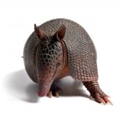 stock photo of armadillo  - Mulita Armadillo of six bands on to white background - JPG