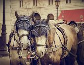 image of carriage horse  - Two horses in traditional Vienna carriage harness - JPG