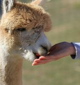 stock photo of alpaca  - Tan Alpaca eating a carrot from a woman - JPG