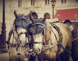 picture of hackney  - Two horses in traditional Vienna carriage harness - JPG