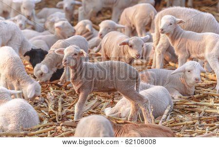 Cute little lambs at eco farm, from Tulcea, Romania.
