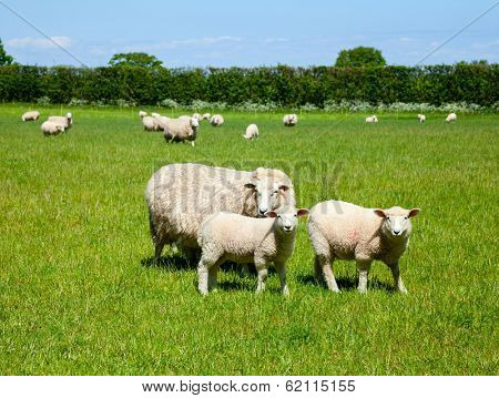 Sheep with lambs at a pasture in England