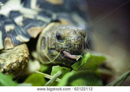 Mountain Or Leopard Tortoise (geochelone Pardalis)