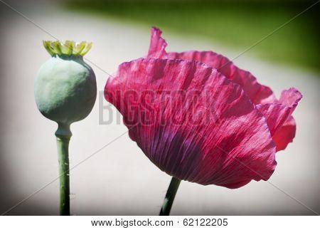 Corn Poppy Flowers
