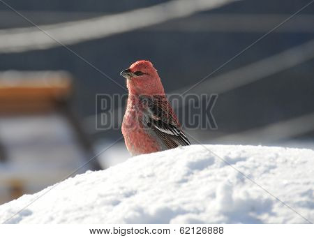 male pine gros beak resting on snow