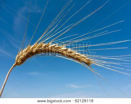 a field of grain (wheat) just before harvest. corn fields in summer.