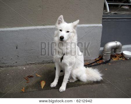 White wolf dog