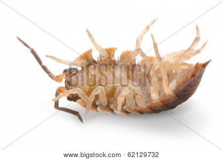 The Pill-bug or Rolly Polly (Armadillidium vulgare). Garden pest.