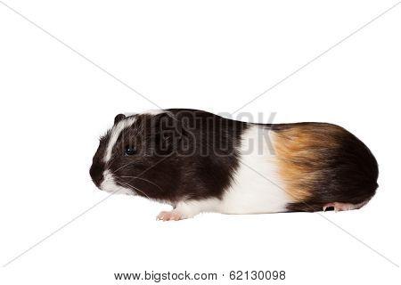 Small Colored Guinea Pig