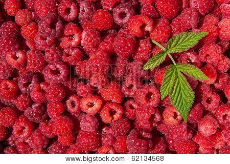raspberries and fresh leaf
