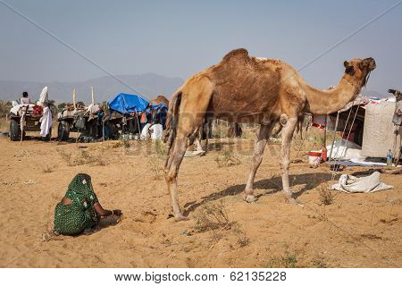 PUSHKAR, INDIA - NOVEMBER 20, 2012: Indian woman collecting camel camel dung for fire fuel at Pushkar camel fair (Pushkar Mela) -  annual camel livestock fair, one of the world largest camel fairs