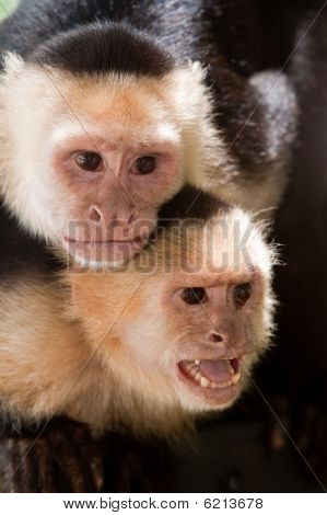 Capuchin Monkey With Youngster On Her Back