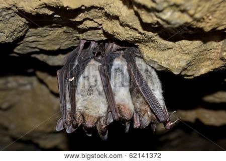 Groups of sleeping bats (Myotis blythii)