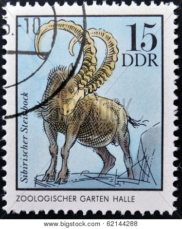 GERMANY - CIRCA 1975: A Stamp printed in GDR shows Siberian Chamois Halle German Zoological Gardens