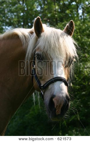 Picture or Photo of A portrait of an Austrian haflinger pony, wearing a show halter set with small crystals