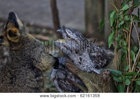 Tawny Frogmouth and Wallaby