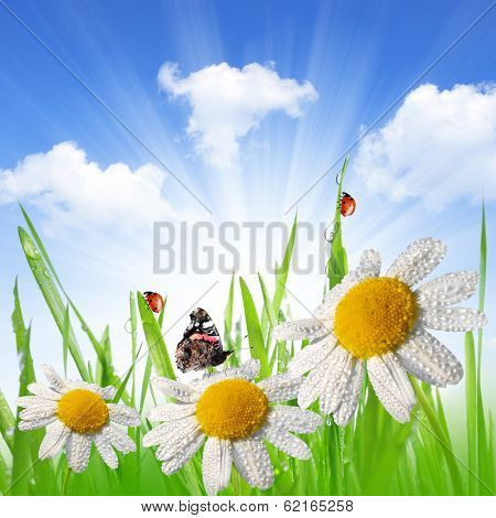 Dewy green grass with daisies, butterfly and ladybugs on meadow.