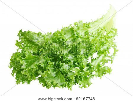 Curly Endive
