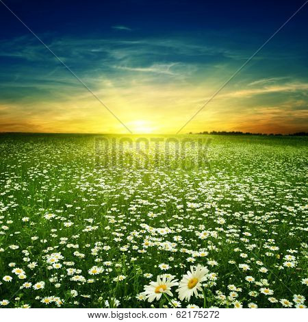 Summer landscape with daisy field at sunset.