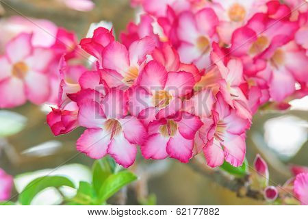Beautiful Azalea Flowers, Group Of Azalea Flowers.