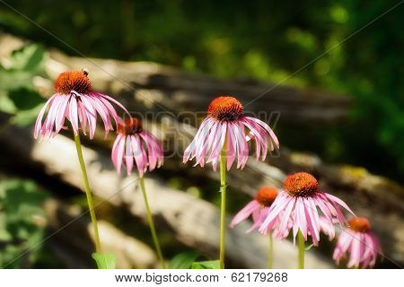 Cone Flowers Along A Fence