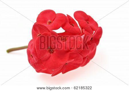 Red  Christ Plant
